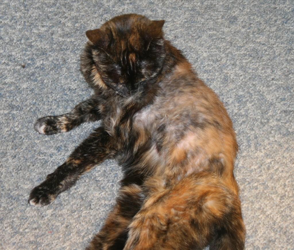 Pourquoi certains chats s'arrachent-ils les poils ? (alopécie psychogène)