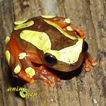 La rainette à bandeau (Hyla leucophyllata)