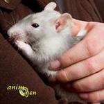 Ce qu'il faut savoirlorsque l'on adopte un rat comme animal de compagnie