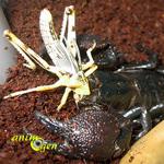 L'alimentation des scorpions en captivité (proie, ration, fréquence)