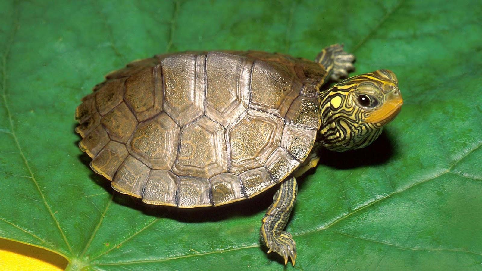 tortues terrestres reproduction
