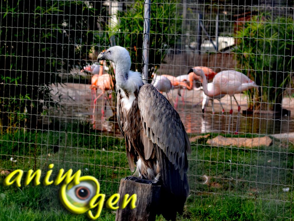 AnimOgen à la découverte du vautour fauve et du vautour de Rüppell