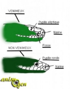 Reptiles : comment reconnaître un serpent venimeux ?