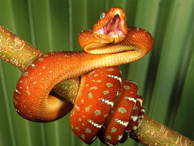 reptiles comment reconna tre un serpent venimeux animogen. Black Bedroom Furniture Sets. Home Design Ideas
