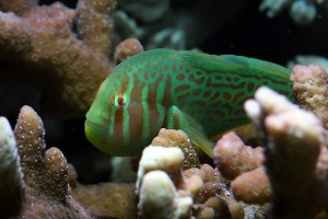 Le Gobie corail strié, ou Gobiodon histrio, gardien de coraux