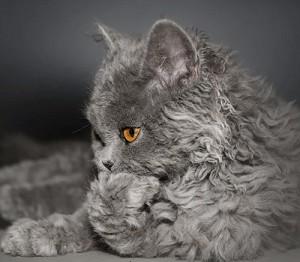 Le Selkirk rex, un chat dans un corps de mouton