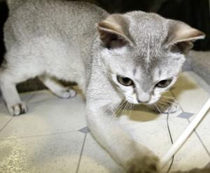 Le Singapura, chat d'amour