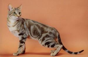 Le Sokoké, ou Khadzonzos, chat sauvage d'Afrique domestiqué