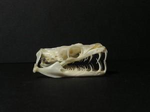 La dentition des reptiles : les Aglyphes
