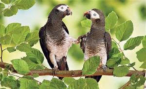 Comportements et attitudes des perroquets en cas d'agression par un congénère
