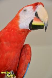 Alimentation : la pastèque rouge, un cocktail parfumé pour nos perroquets