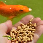 Alimentation et sant animogen for Alimentation poisson rouge bassin