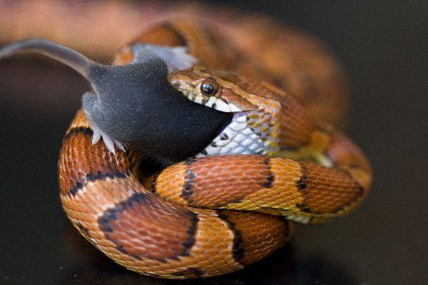 alimentation du serpent