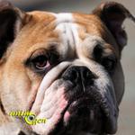 Santé : le syndrome Brachycéphale chez le chien