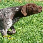 Le Braque français, chien de Charles X