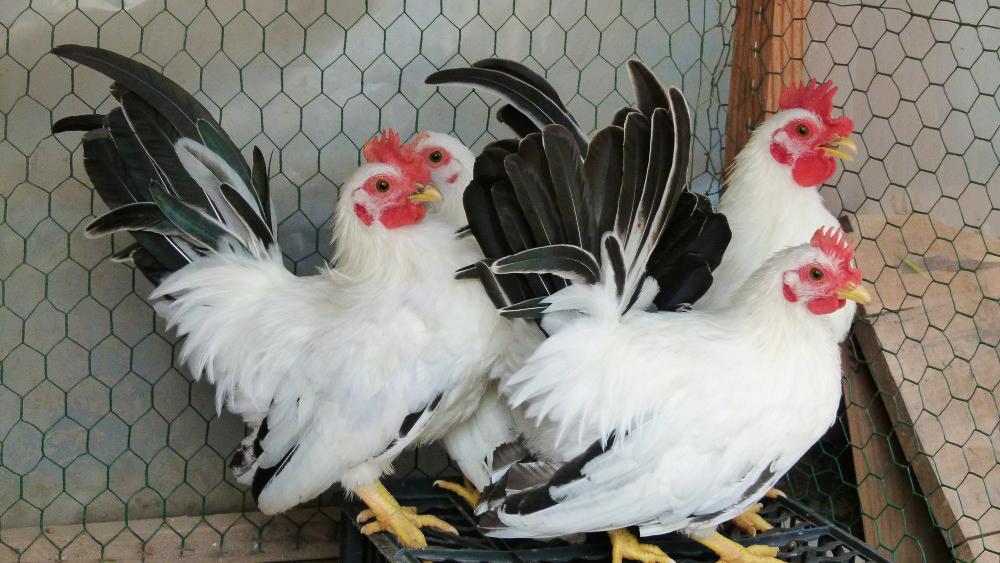 La poule naine Nagasaki, ou Chabo, pour une basse-cour de panache