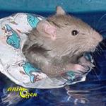 Comment aider un rat à supporter la chaleur estivale ? (environnement et prévention)