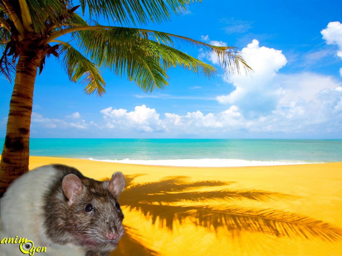 5609e0479b0 Comment aider un rat à supporter la chaleur estivale   (environnement et  prévention)