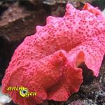 d buter avec les coraux dans un bac r cifal l actinodiscus ou discosoma animogen. Black Bedroom Furniture Sets. Home Design Ideas