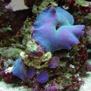 Débuter avec les coraux dans un bac récifal : l'Actinodiscus, ou Discosoma