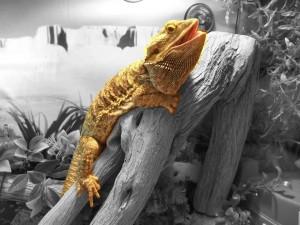 sant la d shydratation chez les reptiles causes sympt mes solutions animogen. Black Bedroom Furniture Sets. Home Design Ideas