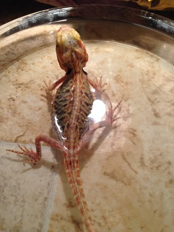 Santé : la déshydratation chez les reptiles (cause, symptômes, solutions)