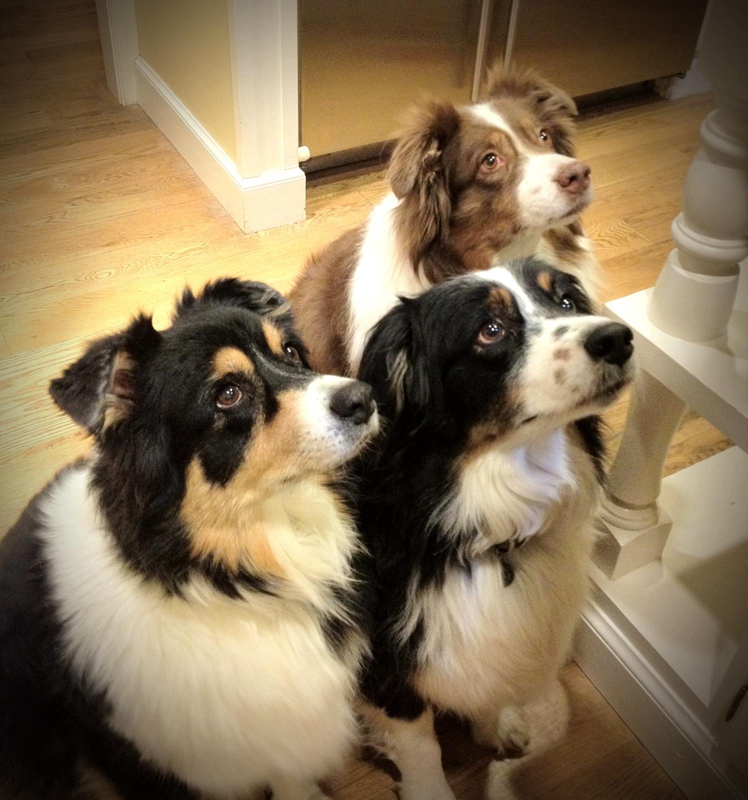 La distribution de gourmandises peut-elle avoir une influence sur l'éducation des chiens ?