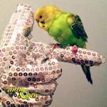 Les gants, amis ou ennemis de l'éducation de nos perroquets ? (éducation, comportement)