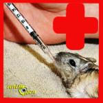 Santé : reconnaître les signes de maladie chez la gerbille, ou mérione de Mongolie (symptômes)