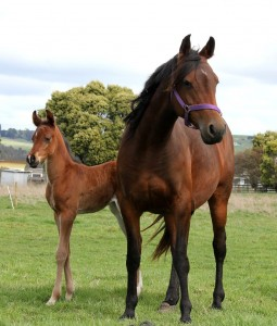 L'alimentation de la jument durant la gestation et la lactation (besoins, progression, conséquences)