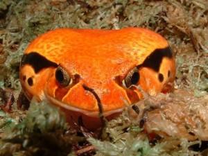 """La grenouille tomate, ou Dyscophus guineti un """"fruit"""" de terrarium à admirer sans modération"""