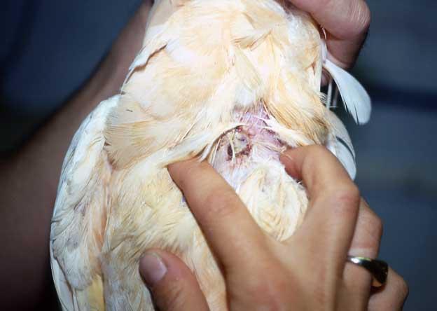 Santé : brûlure du jabot et fistule chez les perroquets (cause, symptômes, traitement)