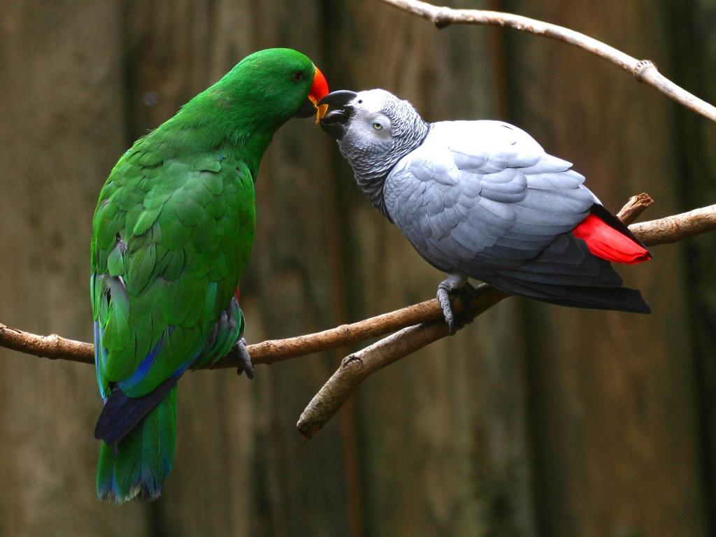 Les rapports sociaux entre les perroquets : l'amour au service de l'intelligence