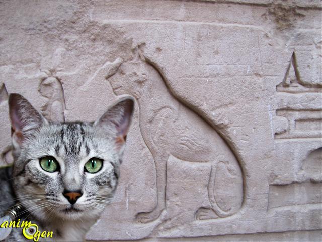 Le chat mau gyptien et le scarab e sacr animogen - Symbolique du chat ...