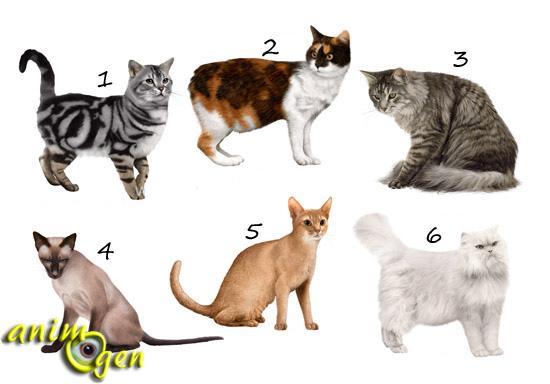 Morphologie : à quel profil la silhouette de mon chat correspond-elle ?
