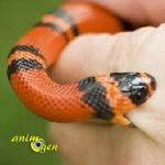 Pourquoi un serpent non venimeux mord-il en captivité ?