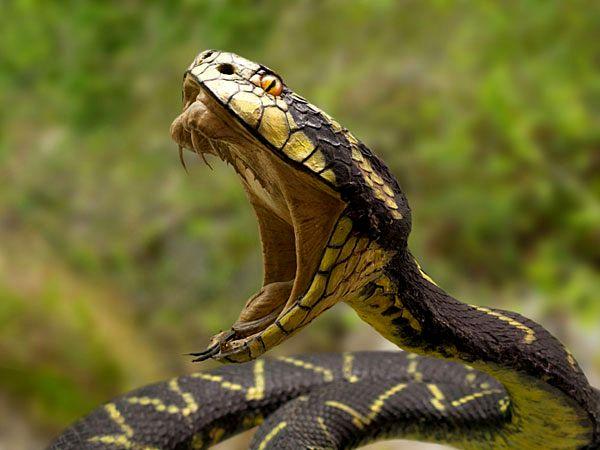 serpent plus venimeux