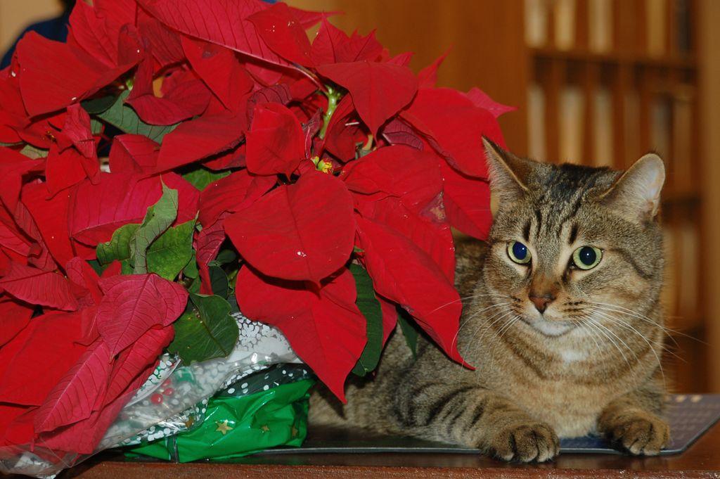 Santé : les plantes de Noël toxiques pour nos chats