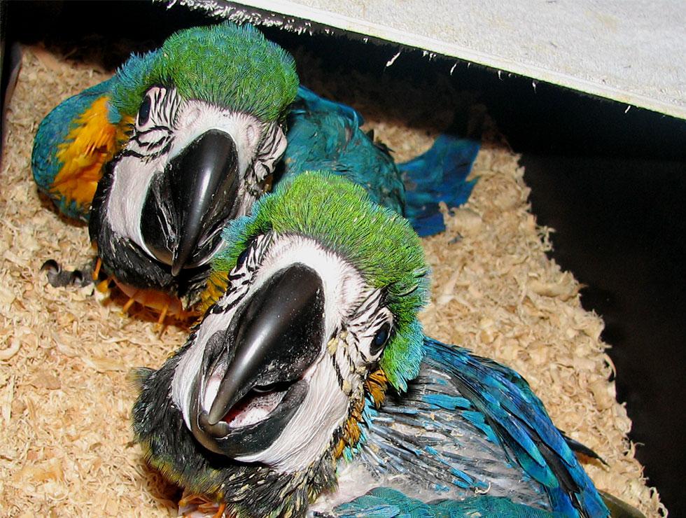 oisillon-problème-santé-alimentation-bébés-symptômes-anormaux-poids-aspect-appétit-jabot-oiseaux-perroquets-psittacidés-reconnaître-animal-animaux-compagnie-animogen-3