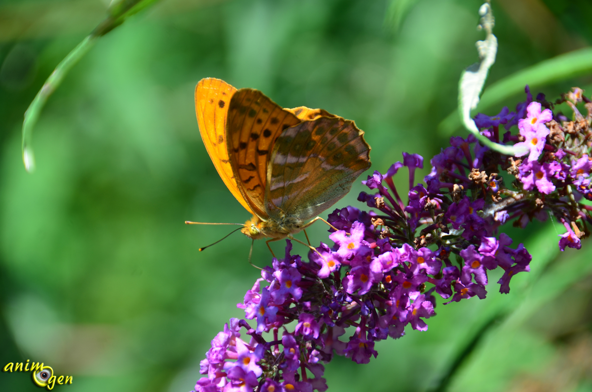 Papillon de nos jardins argynnis paphia le tabac d espagne animogen - Images de papillon ...