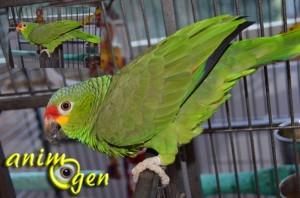 Comportements sexuels et rapports sociaux chez les perroquets, comment les identifier ?