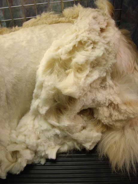 Sant faut il raser chiens et chats en t animogen - Comment enlever les vers d un chat ...