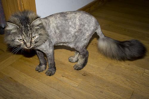 Sant faut il raser chiens et chats en t animogen - Coup de chaleur chat symptomes ...