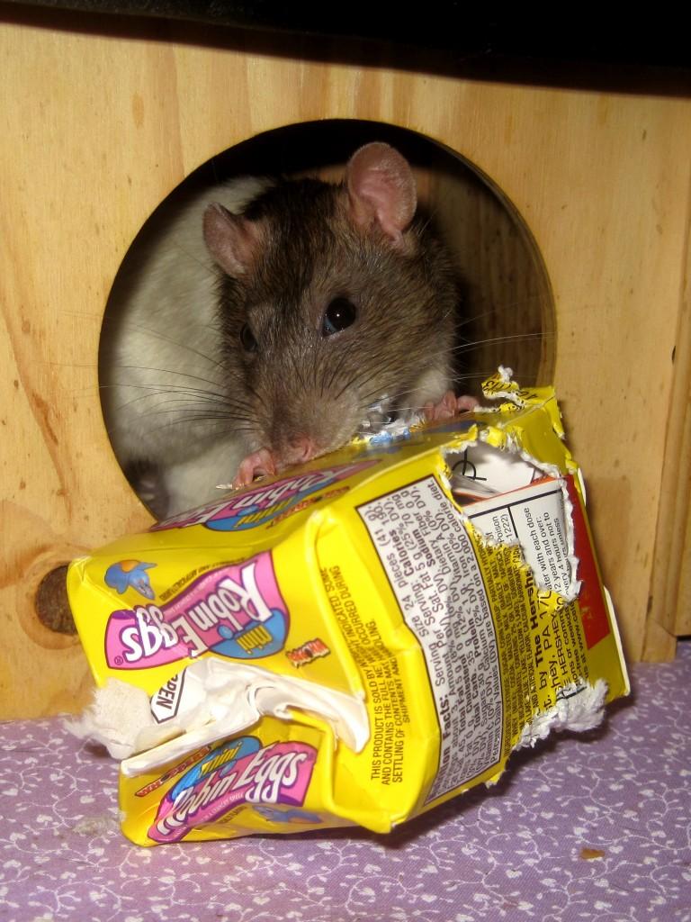 Alimentation et comportement : pourquoi les rats cachent-ils leur nourriture ?