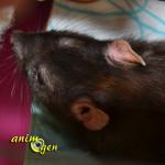 Comment aider un rat à supporter la chaleur estivale ? (astuces et accessoires)