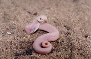 Le serpent à nez de cochon, serpent à groin, ou couleuvre à nez retroussé (Heterodon nasicus)