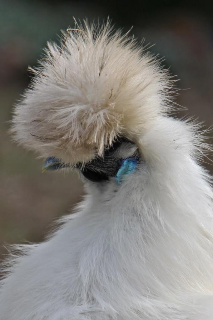 La Poule soie (autrefois nègre soie), reine des volailles d'ornement