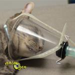Stérilisation des chats mâles : déroulement de l'opération en images