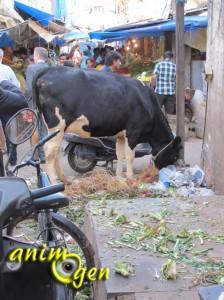 Inde : quand les vaches envahissent la ville