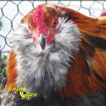 L'Améraucana, une poule chilienne aux airs d'aristocrate